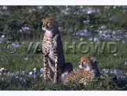 Early Cheetahs