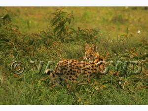 Ndutu Serval